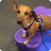Dachshund Dog for adoption in Weston, Florida - Gemma