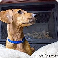 Dachshund Dog for adoption in Warner Robins, Georgia - ViVi