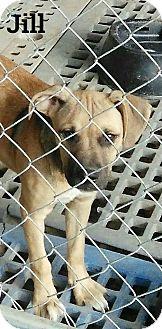 Boxer/Rottweiler Mix Puppy for adoption in Trenton, New Jersey - Jill-Ann