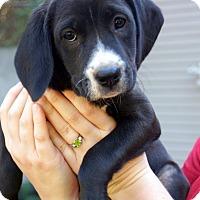 Adopt A Pet :: Claire - Newark, DE