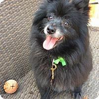 Pomeranian/Spitz (Unknown Type, Medium) Mix Dog for adoption in san diego, California - Oso