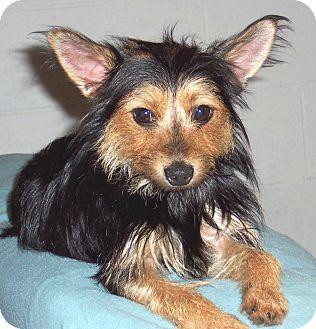 Yorkie, Yorkshire Terrier/Miniature Pinscher Mix Dog for adoption in CONOVER, North Carolina - Tressie