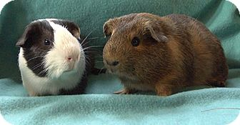 Guinea Pig for adoption in Steger, Illinois - Grandall