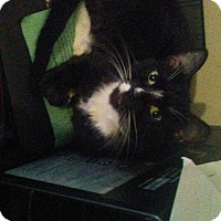 Adopt A Pet :: BootsCP - Carlisle, PA