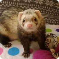 Adopt A Pet :: Duke - Cleveland, OH