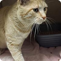 Adopt A Pet :: Shepherd - Westminster, CA