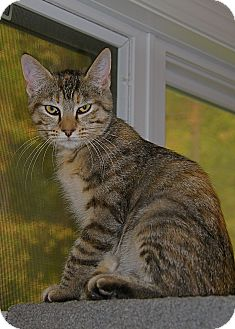 American Shorthair Kitten for adoption in Victor, New York - pearl