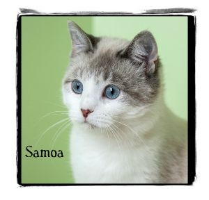 Ragdoll Cat for adoption in Warren, Pennsylvania - Samoa