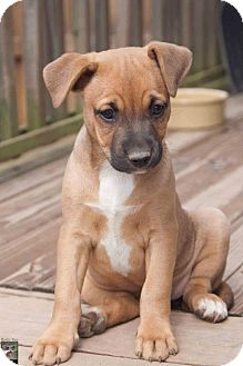 American Pit Bull Terrier/Bull Terrier Mix Puppy for adoption in Medina, Ohio - Hope