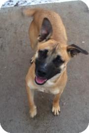 Belgian Malinois/Basenji Mix Dog for Sale in Oshkosh, Wisconsin ...