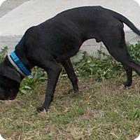 Adopt A Pet :: Bull - Lewisburg, TN