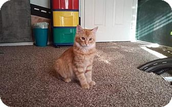 Domestic Shorthair Cat for adoption in San Tan Valley, Arizona - Ash