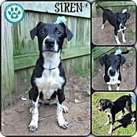 Adopt A Pet :: Siren - Kimberton, PA