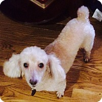 Toy Poodle Dog for adoption in Cary, North Carolina - Muffin