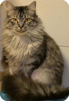 Domestic Shorthair Cat for adoption in Baton Rouge, Louisiana - Chloe