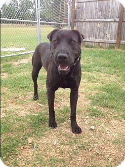 Shar Pei/Labrador Retriever Mix Dog for adoption in Barnwell, South Carolina - Spud