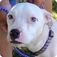 Adopt A Pet :: Snow - St Petersburg, FL