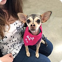 Chihuahua Mix Dog for adoption in Studio City, California - Tiny Olivia bobtail