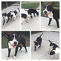 American Pit Bull Terrier Mix Dog for adoption in Everman, Texas - Sarge