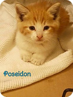 Domestic Shorthair Kitten for adoption in Rosamond, California - Poseidon