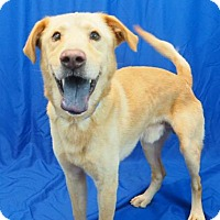 Labrador Retriever Mix Dog for adoption in New Orleans, Louisiana - Jack