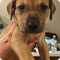 Hound (Unknown Type)/Terrier (Unknown Type, Small) Mix Puppy for adoption in Loxahatchee, Florida - Leeda