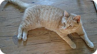 Domestic Shorthair Cat for adoption in Evans, West Virginia - ISOBEL