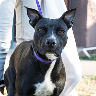 Pit Bull Terrier Mix Dog for adoption in Stillwater, Oklahoma - Betsy