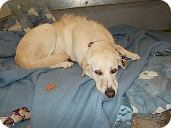 Labrador Retriever Dog for adoption in Lemoore, California - Daisy