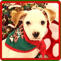 Adopt A Pet :: Snowy - Glastonbury, CT