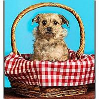 Adopt A Pet :: Trixie - Owensboro, KY