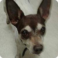 Adopt A Pet :: DeeDee In Fort Worth - Austin, TX