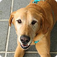 Adopt A Pet :: Tank *Foster Me! - Richmond, VA