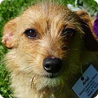 Adopt A Pet :: Ariel - Wyanet, IL