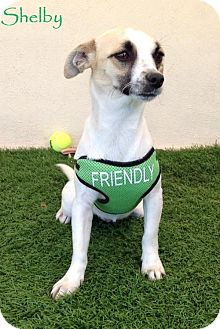 Jack Russell Terrier Mix Dog for adoption in San Diego, California - Shelby