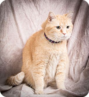 Domestic Mediumhair Cat for adoption in Anna, Illinois - PHOEBE