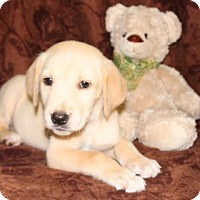 Adopt A Pet :: Knightly - Spring Valley, NY