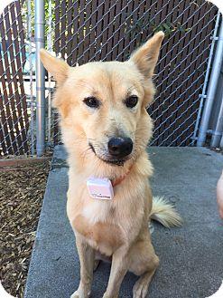 Shepherd (Unknown Type) Mix Dog for adoption in Seattle, Washington - Snowflake