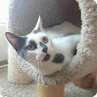 Adopt A Pet :: White & gray female adult cat - Manasquan, NJ