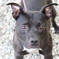 Pit Bull Terrier Mix Dog for adoption in Greensboro, North Carolina - Piglet
