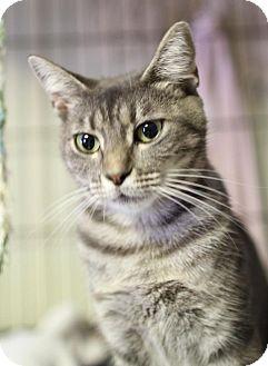 Domestic Shorthair Cat for adoption in Winston-Salem, North Carolina - Susan