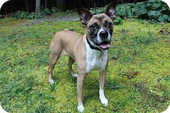 Boxer Dog for adoption in Brasstown, North Carolina - Bopsey