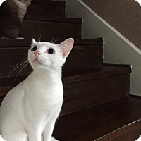 Adopt A Pet :: Kismet - Austin, TX
