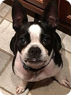 Boston Terrier Dog for adoption in Van Vleck, Texas - Oreo