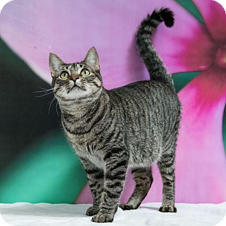 Domestic Shorthair Cat for adoption in Houston, Texas - Chevy