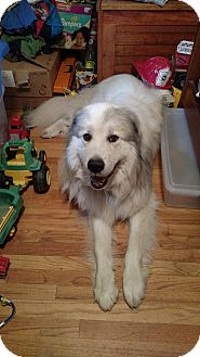 Great Pyrenees Dog for adoption in Lee, Massachusetts - Chewy (aka Biggie) - in MA