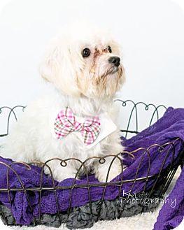 Maltese/Bichon Frise Mix Puppy for adoption in St. Louis Park, Minnesota - Franklin