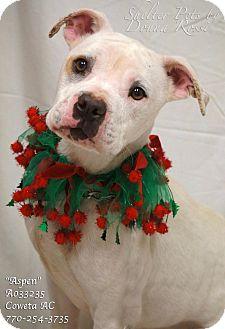 American Bulldog Mix Dog for adoption in Newnan City, Georgia - Aspen