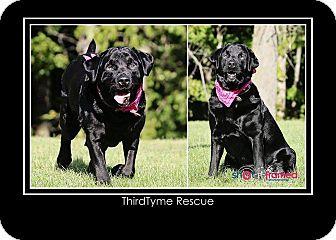 Labrador Retriever Dog for adoption in Mount Gilead, Ohio - Carlie
