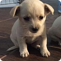 Adopt A Pet :: Chloe - Chino, CA